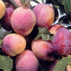 Vrtnarstvo Breskvar - Prunus syriaca Aprimira