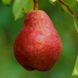 Vrtnarstvo Breskvar - Pyrus communis Viljamovka Rdeča