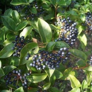 Vrtnarstvo Breskvar - Sambucus Haschberg nigra