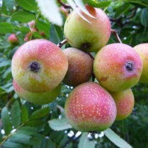 Vrtnarstvo Breskvar - Sorbus domestica
