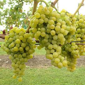 Vrtnarstvo Breskvar - Vitis vinifera Birstaler Muskat