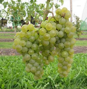 Vrtnarstvo Breskvar - Vitis vinifera Excelsior