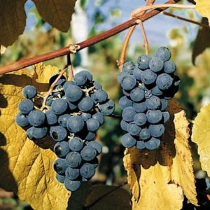 Vrtnarstvo Breskvar - Vitis vinifera Fiorito