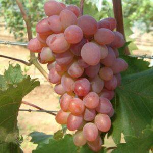 Vrtnarstvo Breskvar - Vitis vinifera Katharina