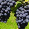 Vrtnarstvo Breskvar - Vitis vinifera Nero