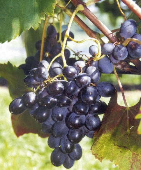 Vrtnarstvo Breskvar - Vitis vinifera Ontario