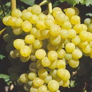 Vrtnarstvo Breskvar - Vitis vinifera Palatina