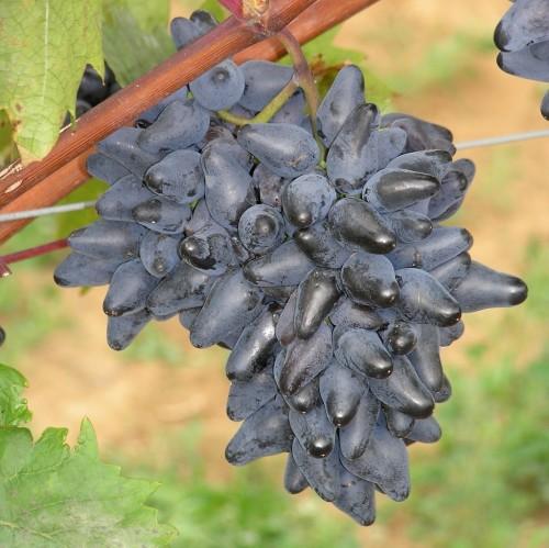 Vrtnarstvo Breskvar - Vitis vinifera Philipp