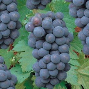Vrtnarstvo Breskvar - Vitis vinifera Rembrandt