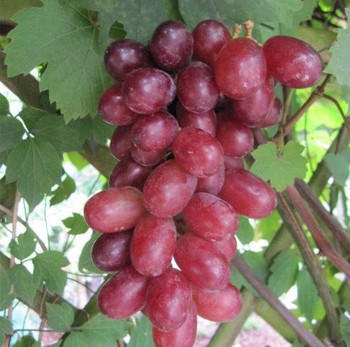Vrtnarstvo Breskvar - Vitis vinifera Rhea