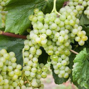 Vrtnarstvo Breskvar - Vitis vinifera Romulus