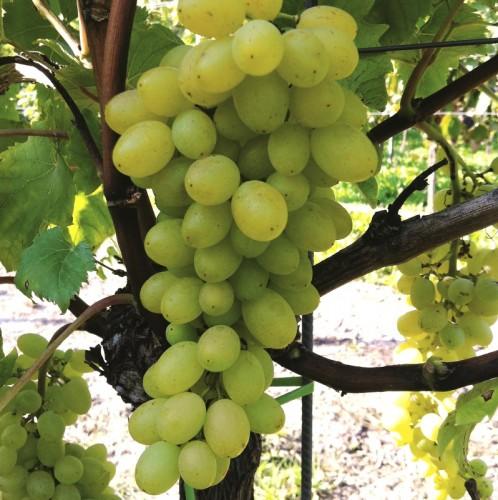 Vrtnarstvo Breskvar - Vitis vinifera Sulima