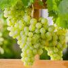 Vrtnarstvo Breskvar - Vitis vinifera Talizman