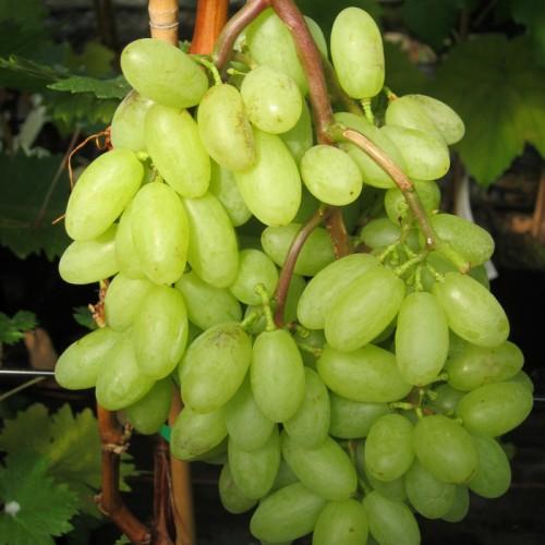 Vrtnarstvo Breskvar - Vitis vinifera Tonia