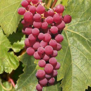 Vrtnarstvo Breskvar - Vitis vinifera Vanessa