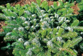 Abies veitchii 'Heddergott' - Vrtnarstvo Breskvar