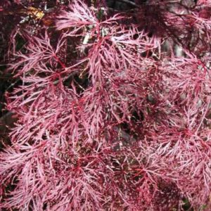 Vrtnarstvo Breskvar - Acer Palmatum Pink Filigree