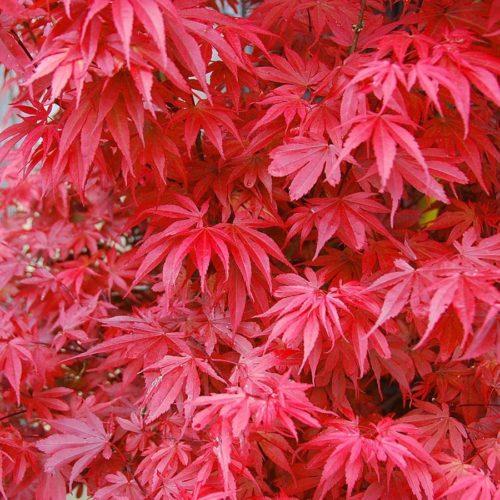Vrtnarstvo Breskvar - Acer palmatum Skeeter's Broom