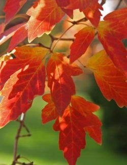 Acer griseum listi - Vrtnarstvo Breskvar
