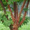 Acer griseum - Vrtnarstvo Breskvar