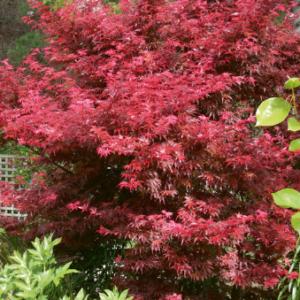 Acer palmatum 'Skeeters Broom' - Vrtnarstvo Breskvar
