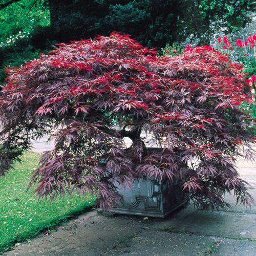 Vrtnarstvo Breskvar - Acer palmatum Dissectum Garnet