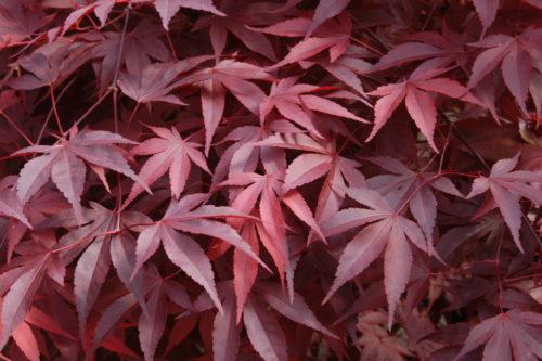 Vrtnarstvo Breskvar - Acer palmatum Fireglow