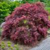 Vrtnarstvo Breskvar - Acer palmatum Inaba shidare