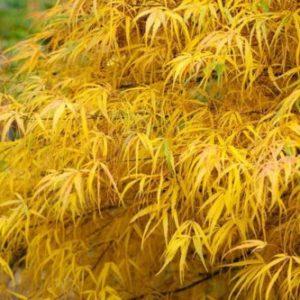 Vrtnarstvo Breskvar - Acer palmatum Koto no ito