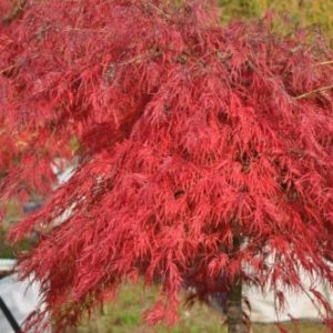 Vrtnarstvo Breskvar - Acer palmatum Red Autumn Lace