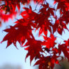 Vrtnarstvo Breskvar - Acer palmatum Red Flesh
