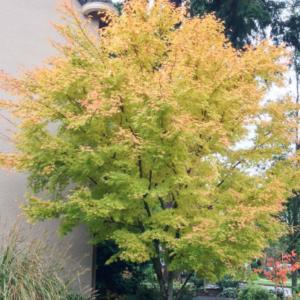 Acer palmatum 'Sango Kaku' - Vrtnarstvo Breskvar