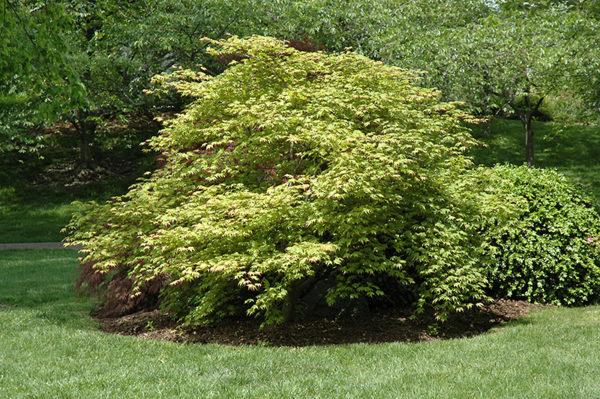 Vrtnarstvo Breskvar - Acer palmatum Tsuma gaki