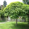 Catalpa bignonides 'Nana' - Vrtnarstvo Breskvar