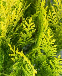 Chamaecyparis lawsoniana Yvonne - Vrtnarstvo Breskvar