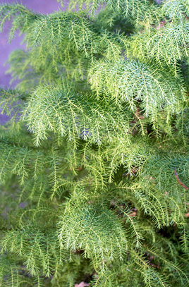 Cryptomeria japonica 'Elegans viridis' - Vrtnarstvo Breskvar