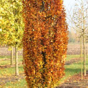 Fagus sylvatica Dawyck jesen - Vrtnarstvo Breskvar
