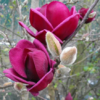 Magnolia 'Genie' - Vrtnarstvo Breskvar