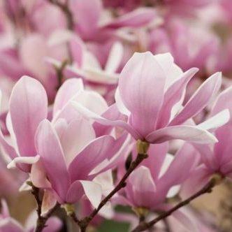 Vrtnarstvo Breskvar - Magnolia Soulangeana