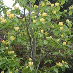 Magnolia 'Yellow Bird' - Vrtnarstvo Breskvar