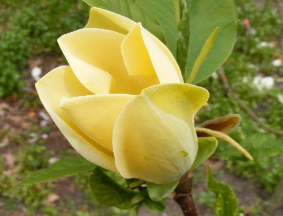 Magnolia 'Yellow Bird' cvet - Vrtnarstvo Breskvar