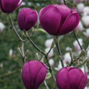 Magnolia Black Tulip - Vrtnarstvo Breskvar