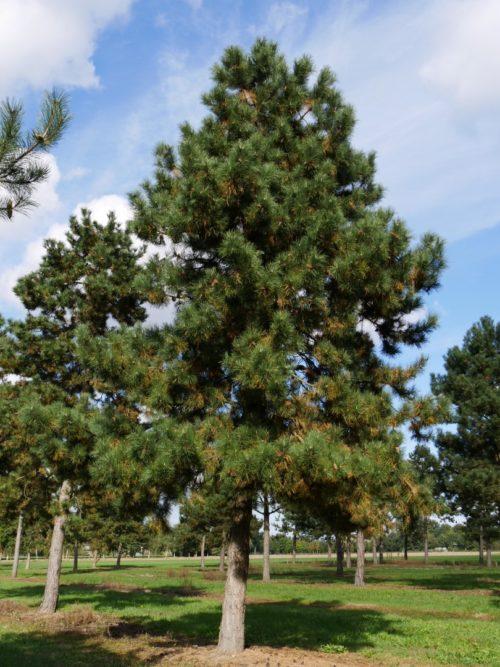 Vrtnarstvo Breskvar - Pinus nigra