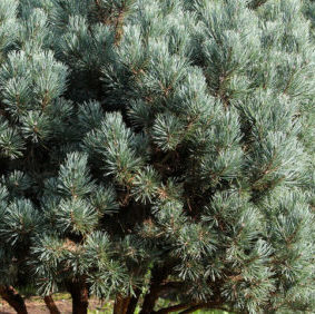 Vrtnarstvo Breskvar - Pinus sylvestris Watereri