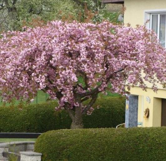 Prunus Kiku Shidare Zakura - Vrtnarstvo Breskvar