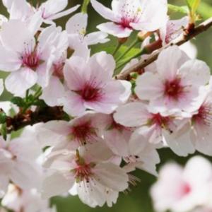Prunus serulata Amanogawa - Vrtnarstvo Breskvar