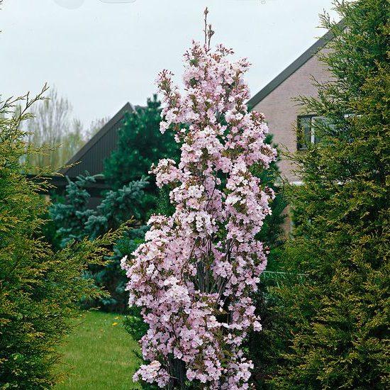 Prunus serrulata Amanogawa - Vrtnarstvo Breskvar