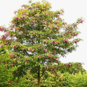 Robinia Casque Rogue -Vrtnarstvo Breskvar