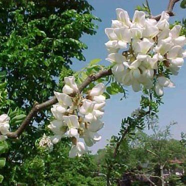 Vrtnarstvo Breskvar - Robinia Pseudoacacia Tortuosa