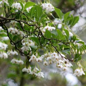 Vrtnarstvo Breskvar - Styrax japonicus
